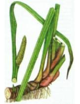 Аир обычный (Acorus Calamus)