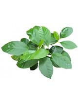 Балиоспермум горный (Baliospermum Montanum)