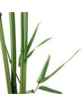 Бамбук (Bambusa Arundinacea)