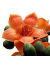 Бомбакс Малабарский (Bombax Malabaricum)