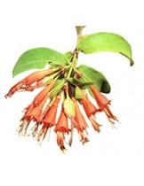 Вудфортия Фруктовая (Woodfordia Fruticosa)