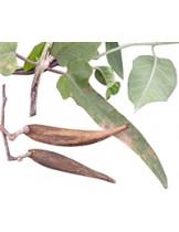 Лептадения сетчастая (Leptadenia reticulata)