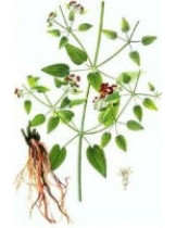 Марена сердцелистная (Rubia cardifolia)