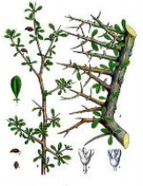 Мирра (Balsamodendron Myrrh)