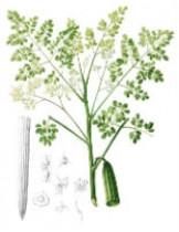 Моринга Масличная (Moringa Oleifera)