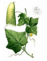 Огурец (Cucumis Sativus)