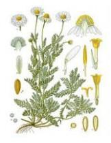 Ромашка Римская (Anacyclus Pyrethrum)