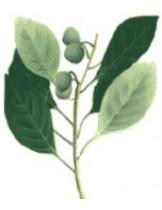 Терминалия белерика (Terminalia Bellirica)