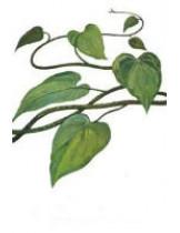 Тиноспора сердцелистная (Tinospora Cordifolia)