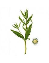 Эклипта Белая (Eclipta Alba)